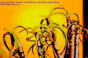 Aloe ramossissima