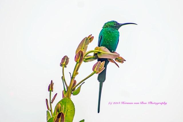 malachiteSunbird16oct14