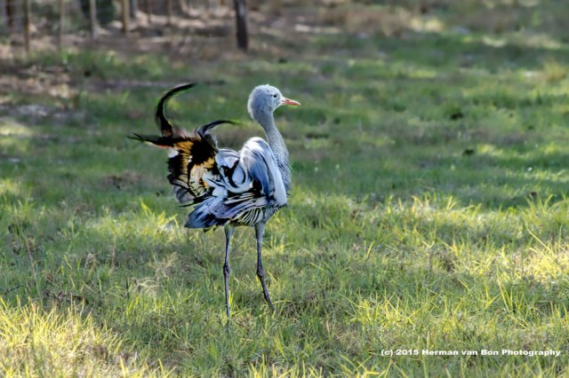 blue-crane-3-tail