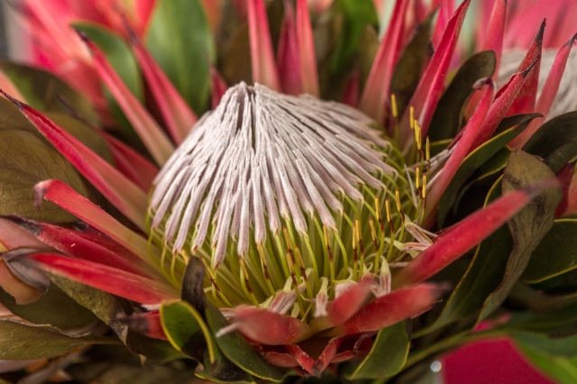 also-Protea-Welcome-at-YUM