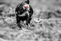 the-chicken-run