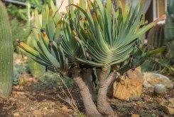 Aloe plicatillis