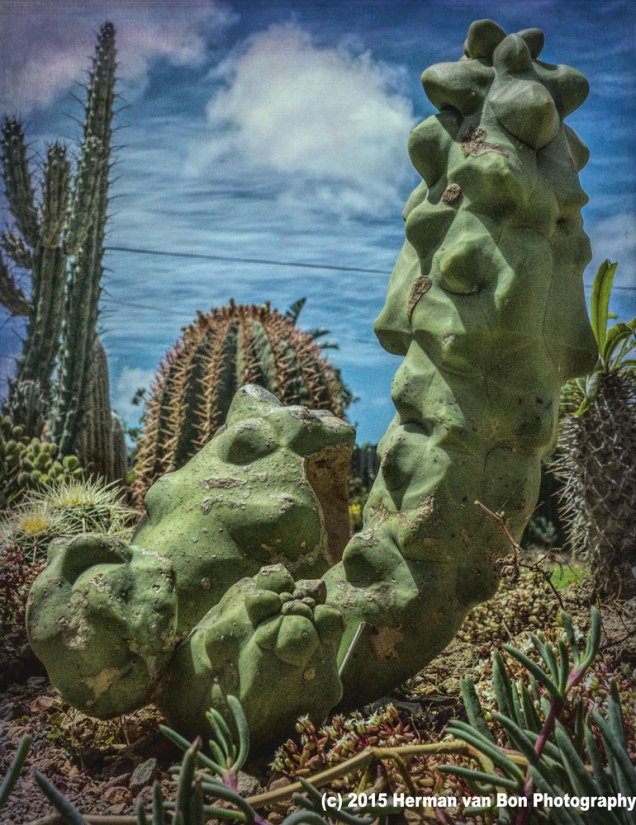 Lophocereus scottii monstrose (spineless cactus)