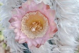 flower of Azurocactus