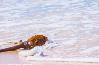 kelp-struisbaai