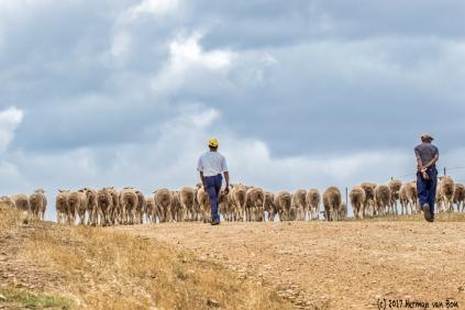 herding-sheep12dec17-1