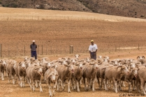 herding-sheep12dec17-3