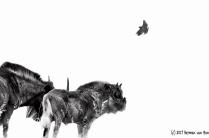 wilde-hartebees-couple