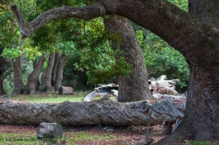 11oct18-centuries-old-oaks-in-genadendal