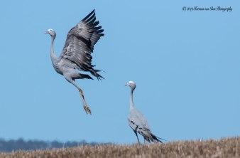 6april19love-dance-blue-crane