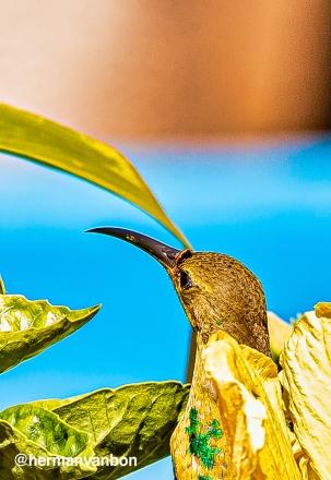20jan20hadshot-malachite-sunbird